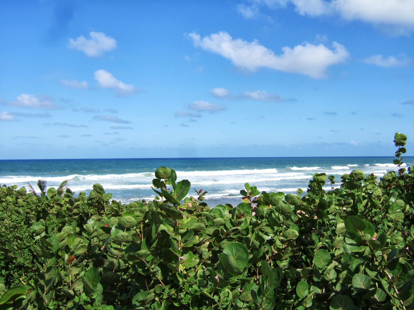 Turquoise sea waters in Bathsheba behind a bed of green flowers